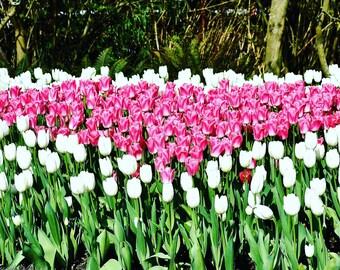 Pink tulip heart