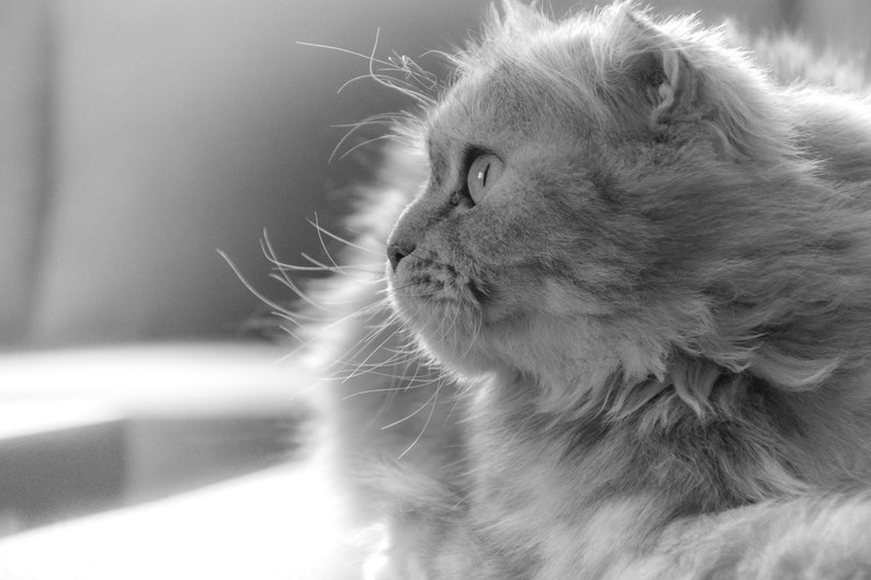 Persian cat digital photo cat lover gift nature photo feline print gift for her last minute gifts monochrome art animal photos digital art