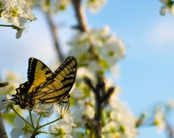 """Butterfly photography, """"Eastern Swallowtail Butterfly"""", Spring blossoms"""