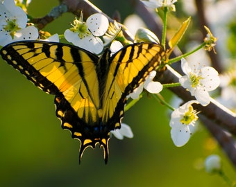 Butterfly photography, Eastern Tiger Swallowtail, Spring, yellow, green