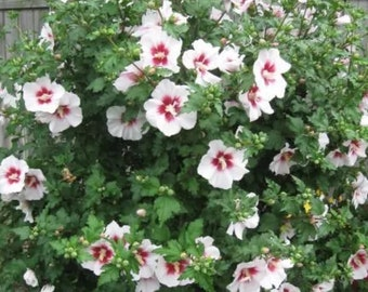 5 mixed young Rose of Sharon trees 2-3 year old