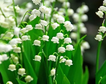 20 lily of the valley bulbs roots plants free shipping