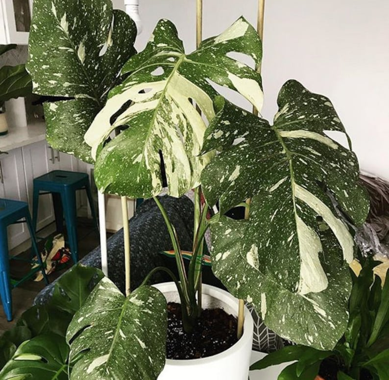 fresh seeds Palm Tree Turtle Leaves Monstera Variegated Seeds Rare Tree  Mixed color Ornamental tropical flowes plants