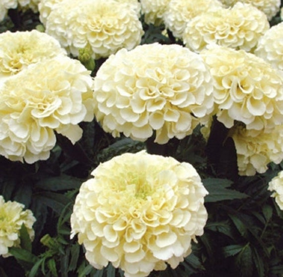 100pcs White Marigold French Vanilla Hybrid Flowers Seeds Etsy