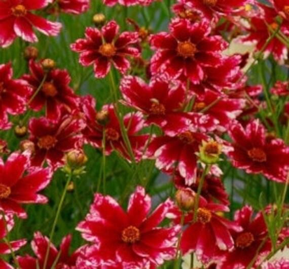 Rare Hardy Multicolore Bijou Rubis Gel Coreopsis Fleur 20 Graines