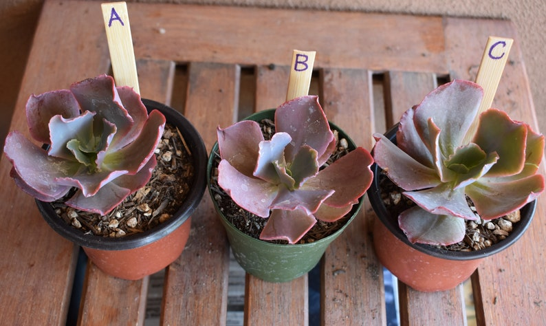 Echeveria Coral Glow in 4 inch Pot Choose Your Own