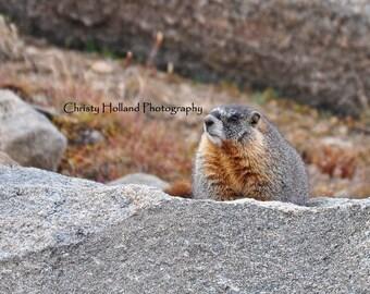 Yellow-Bellied Marmot 8x10 White Mat