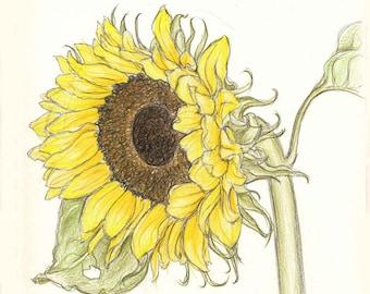 Aquilegia, Bindweed, Cosmos, Geranium, Jasmine, Kniphofia, Chinese Lanterns, Laburnum, Sunflower, Tritonia,  Weigela & Yucca to Print Out