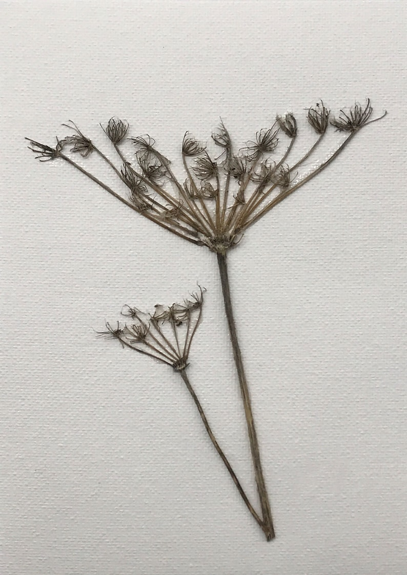 Queen Ann's Lace with two stems wall art