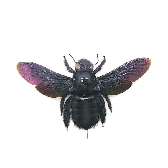 Uncommon Tropical Carpenter Bee Xylocopa latipes FAST FROM USA