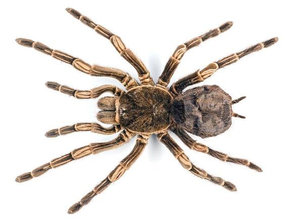 Acanthoscurria juruenicola Brazilian Orange banded tarantula REAL Unmounted