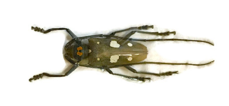 Longhorn Beetle Batocera celebiana Male Real Insect
