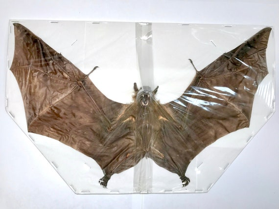 Forest Short-Nosed Fruit Bat Cynopterus minutus Hanging Back Real Preserved Taxidermy Specimen