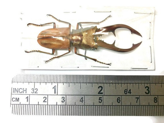 Longjaw Beetle Insect Specimen Taxidermy Cyclommatus tarandus