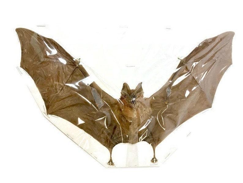 PIPISTRELLUS IMBRICATUS BROWN PIPISTRELLE SPREAD REAL BAT INDONESIA TAXIDERMY0