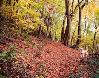 An Evening Stroll through woodland with my Labrador