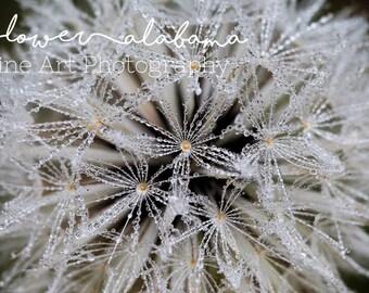 Dandelion Three- Fine Art Photography