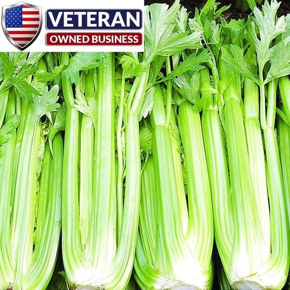 Celery Seed Tendercrisp for Gardening Heirloom Organic Non GMO 500 Seeds