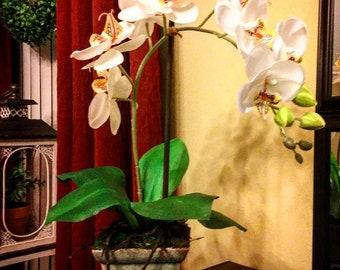 Single stem white phaelaenopsis orchid plant