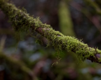 PNW Mossy Branch, Forest Wall Art, Instant Digital Download Photography