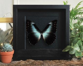 Framed large morpho cisseis butterfly