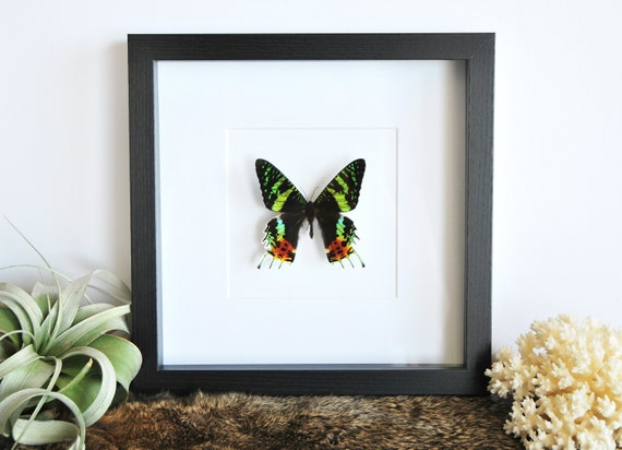Real framed butterfly // framed butterflies // Sunset Moth | Etsy