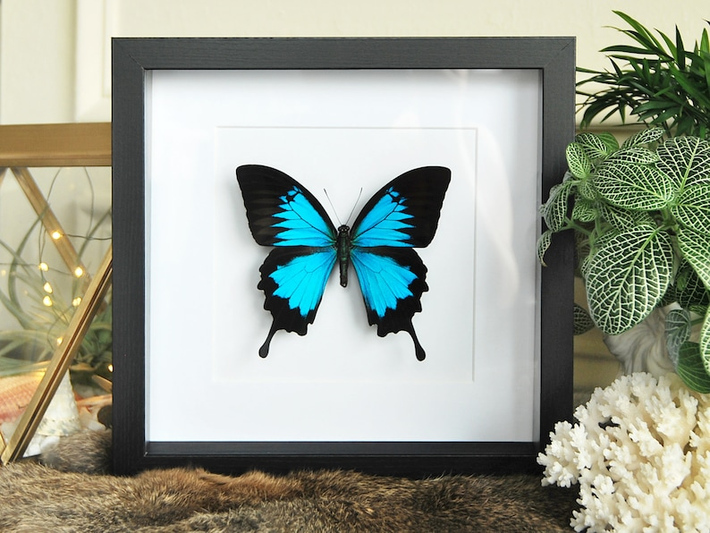 Real Framed Butterfly Blue Black Papilio Ulysses Swallowtail Indonesia
