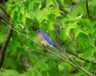Eastern Bluebird at Spruce Run Reservior in New Jersey, instant digital download, pretty bird photo, nature photography,  bird photography