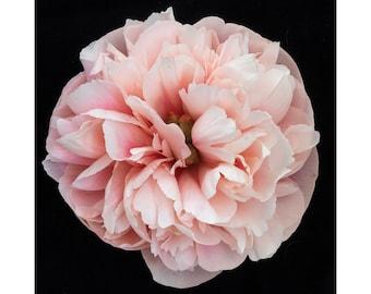 Blooms on Black - Peony 3