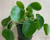 Large Pilea Peperomioides 6 , Chinese Money Plant, Houseplants, Live Plants