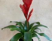 4 Lucky Reptile Bromeliad, Guzman Red Bromeliad, Live Plants, Houseplants