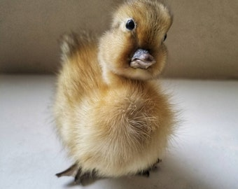 novelty Cute Baby Duck Mount. Taxidermy duckling ..BUTT QUACK!.
