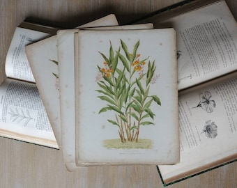 "Botanical print ""Alpinia nutans"" lithograph in color"