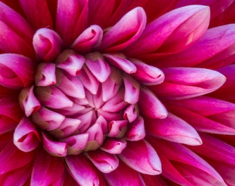 SALE: Dahlia in Bloom Closeup Digital Photo, Photography gift for her
