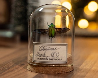 insect under glass, decoration for oddities cabinet and entomology fan