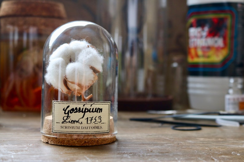 Cabinet de curiosité fleur de coton dôme verre entomologie image 0