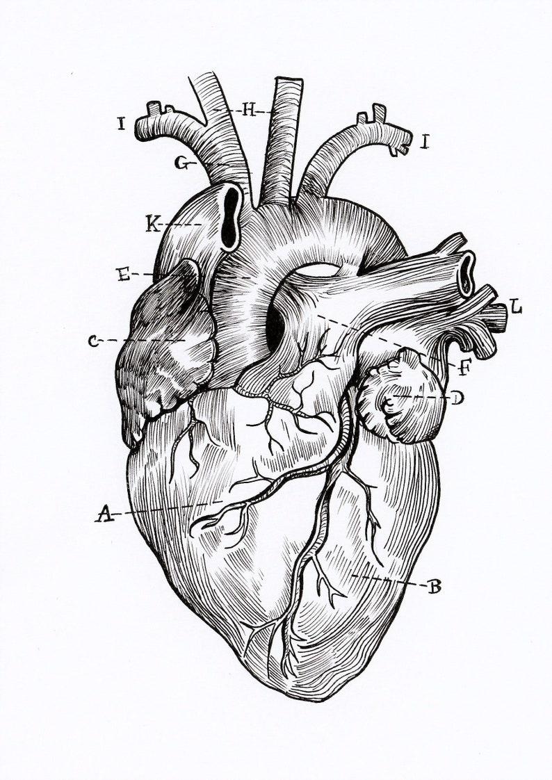 A5 Print Anatomical Heart Diagram | Etsy