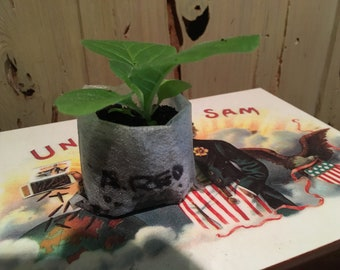 African Red Tobacco Starter Plant