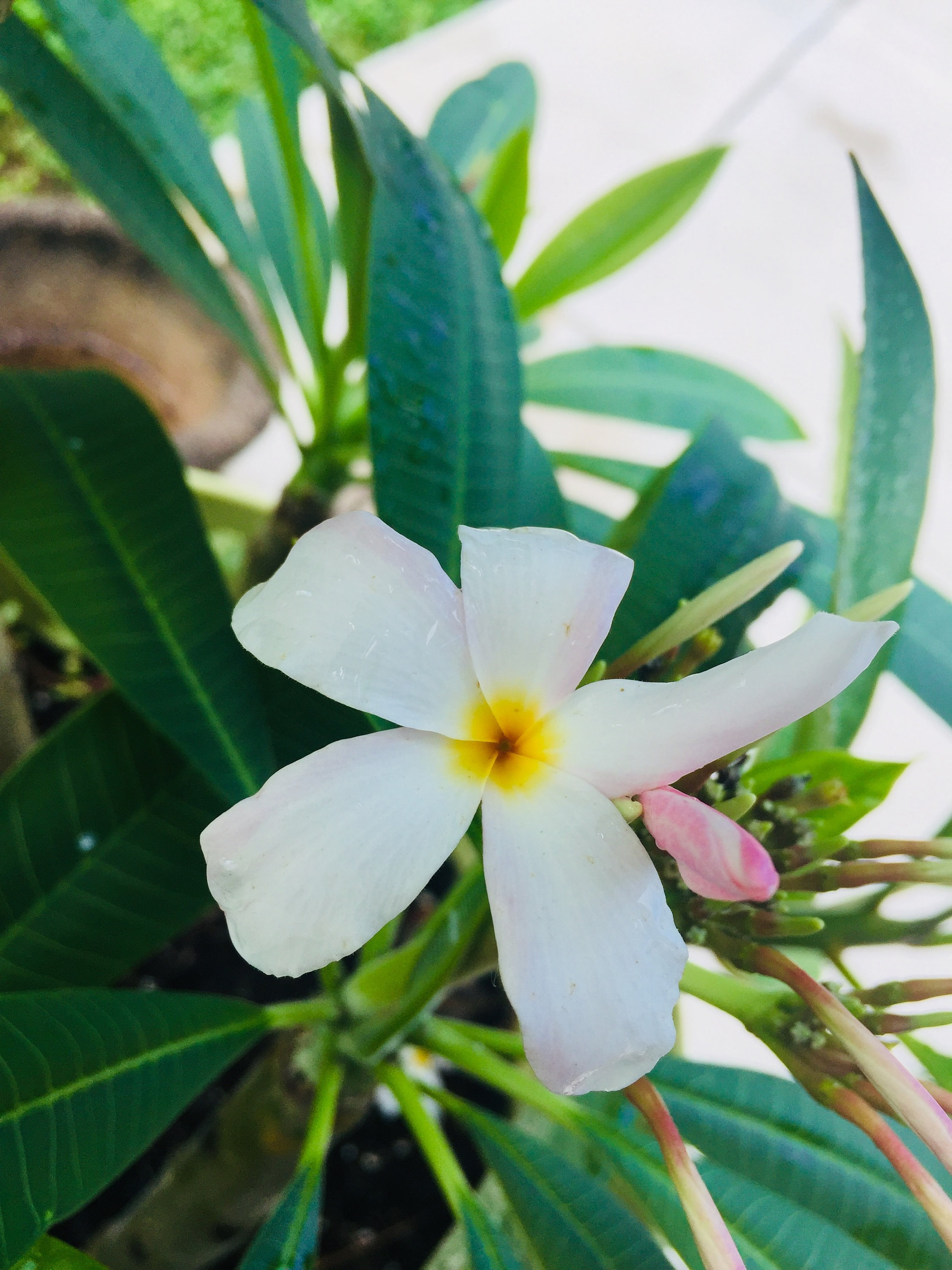 Rooted Plumeria Cutting White And Hue Of Pink Flower With Etsy