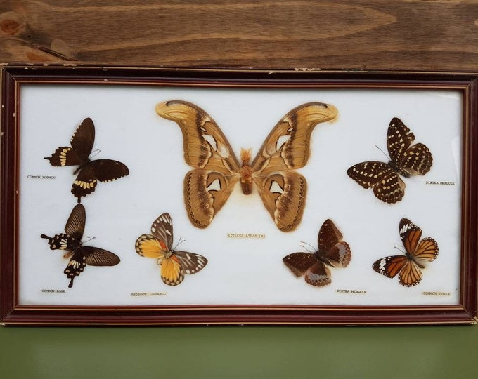 Frame butterflies taxidermy