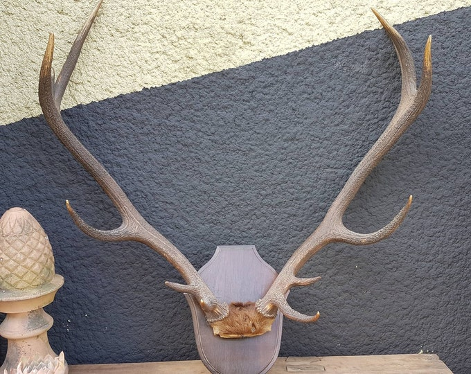 12 horns deer trophy