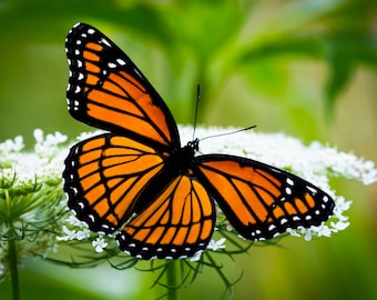 Monarch Butterfly Photo