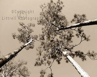 A Trio of Pine Trees - Sepia Photograph