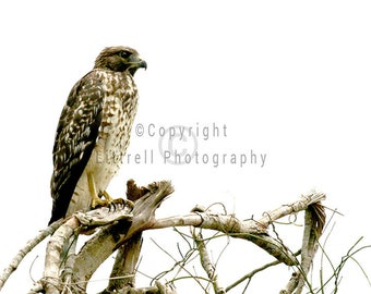 Red Shouldered Hawk - Nature Photography - Print