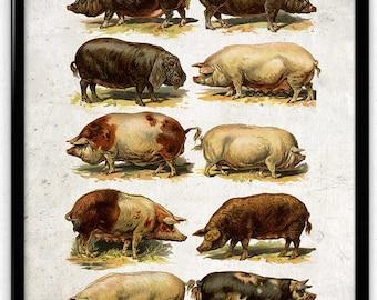Pigs and Hogs Breeds Vintage Print 1 - Instant Download - Pig Poster - Pig Art - Pig Picture - Pig Illustration - Kitchen Art Decor (PD1045)