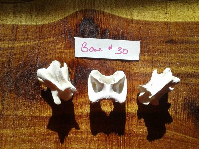 Deer Vertebrae BoneDeer Atlas BoneReal Bone