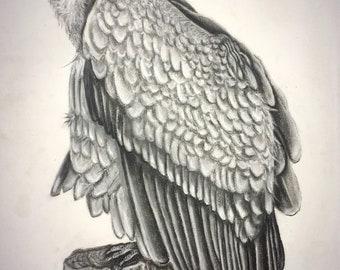 Charcoal Griffon Vulture