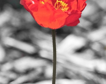 Crocus Flower, Floral, Wall Decor, Fine Art Photography, Digital Download, Printable Art