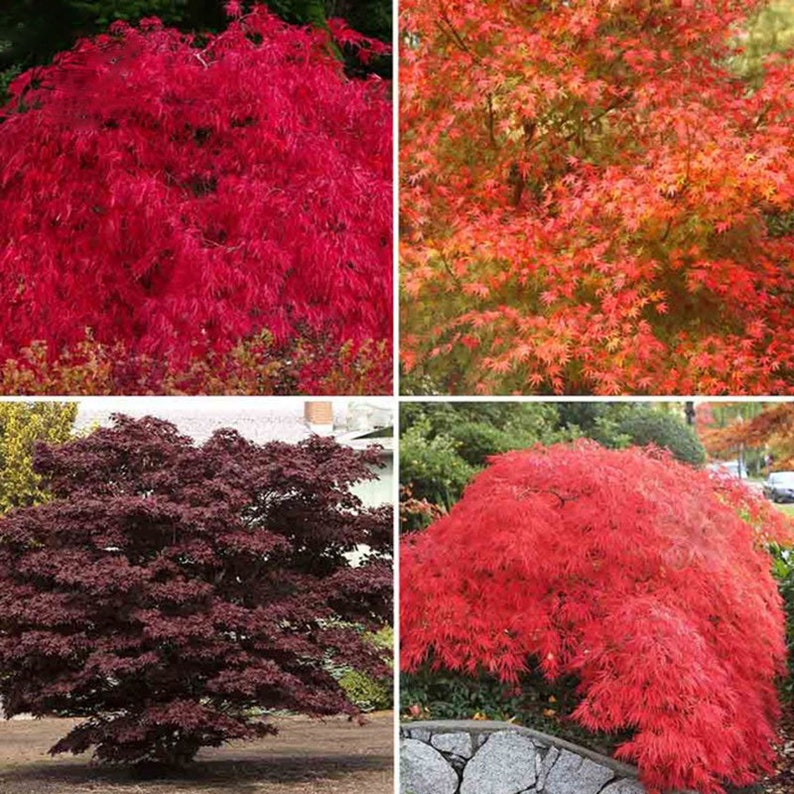 29b7784deee0b 10Pcs Autumn Blaze Red Maple Tree Fresh Fire Red Golden Red