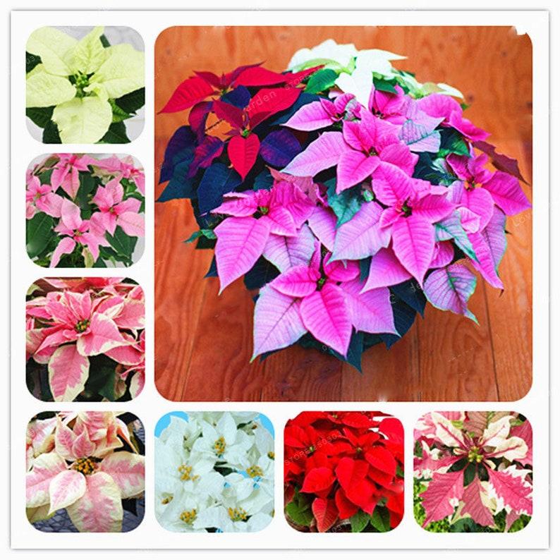 100pcs Bag Poinsettia Potted Colorful Bonsai Flower Seeds Etsy
